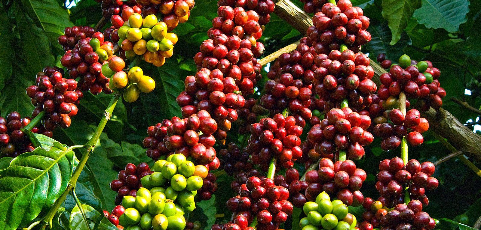 Sản lượng cà phê ảnh hưởng đến giá cà phê nguyên chất từng năm.