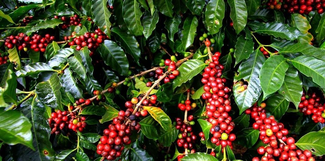Cà phê phải được trồng và thu hoạch cẩn thận