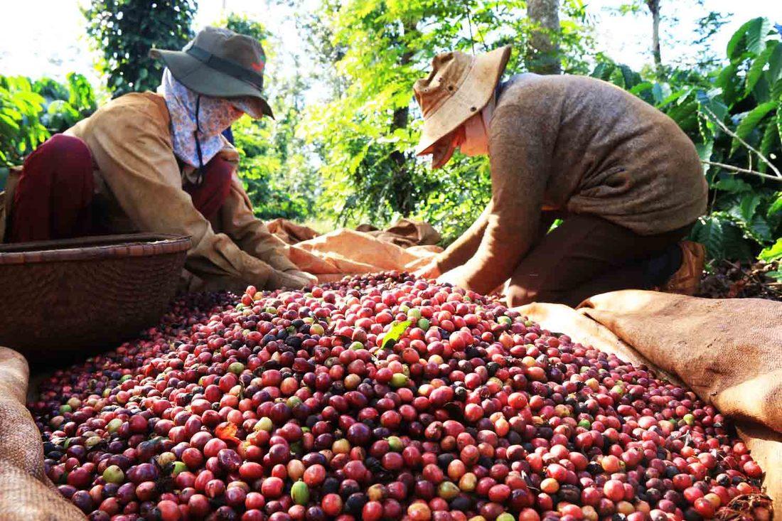 Cà phê cho chồn ăn đều là những quả ngon và chín mọng nhất trong vườn