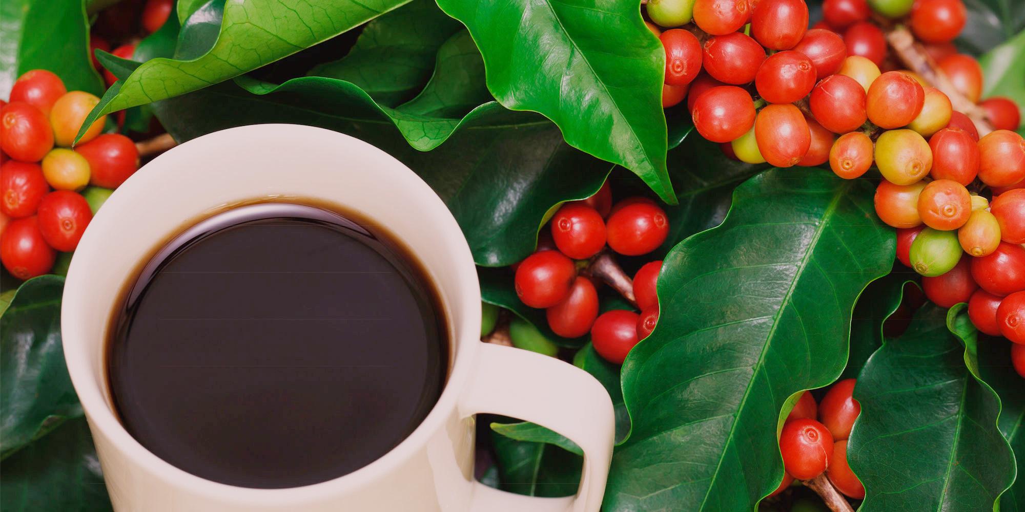 Quả cà phê trên cây to tròn và đẹp mắt.
