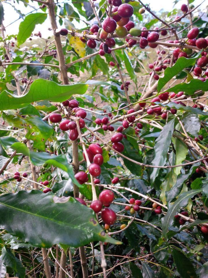 Cà phê moka Cầu Đất sống ở độ cao 1500m