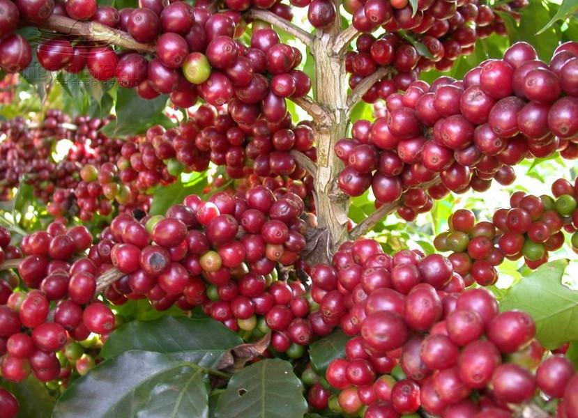 Quả cà phê chè chỉ có 2 hạt nhưng lại có giá trị kinh tế mạnh nhất.