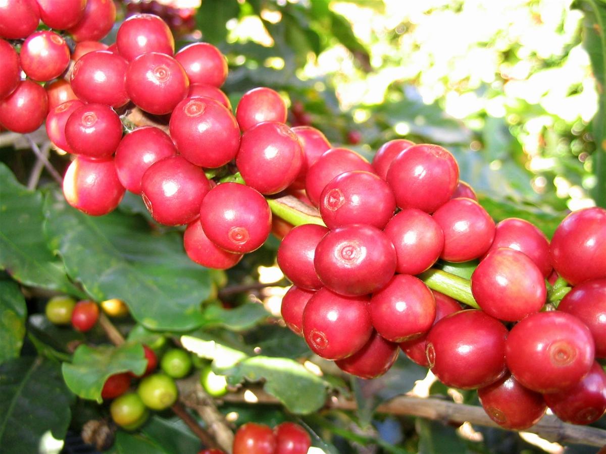 Quả cà phê Robusta tròn và nhỏ hơn Arabica