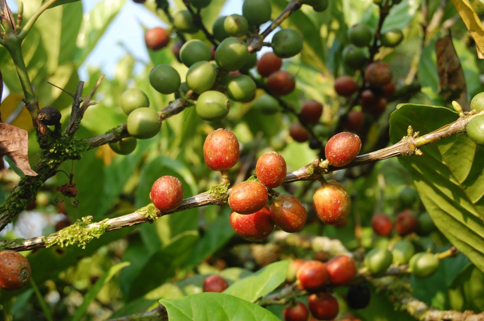 Dù là một trong ba loại cà phê chính nhưng cà phê mít lại kém phát triển hơn rất nhiều.