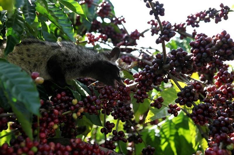 Cầy vòi hương tạo nên thức uống cà phê chồn.