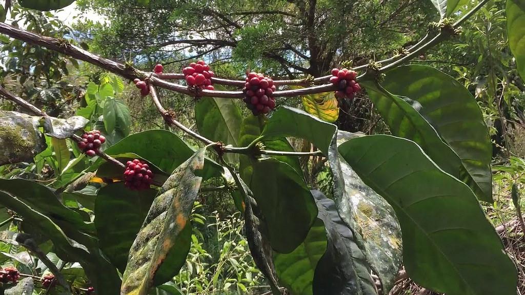 Cây cà phê Liberia