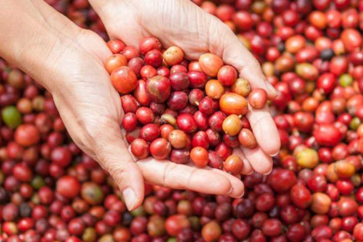 Trải qua nhiều quy trình để hạt cà phê đến tay người tiêu dùng.