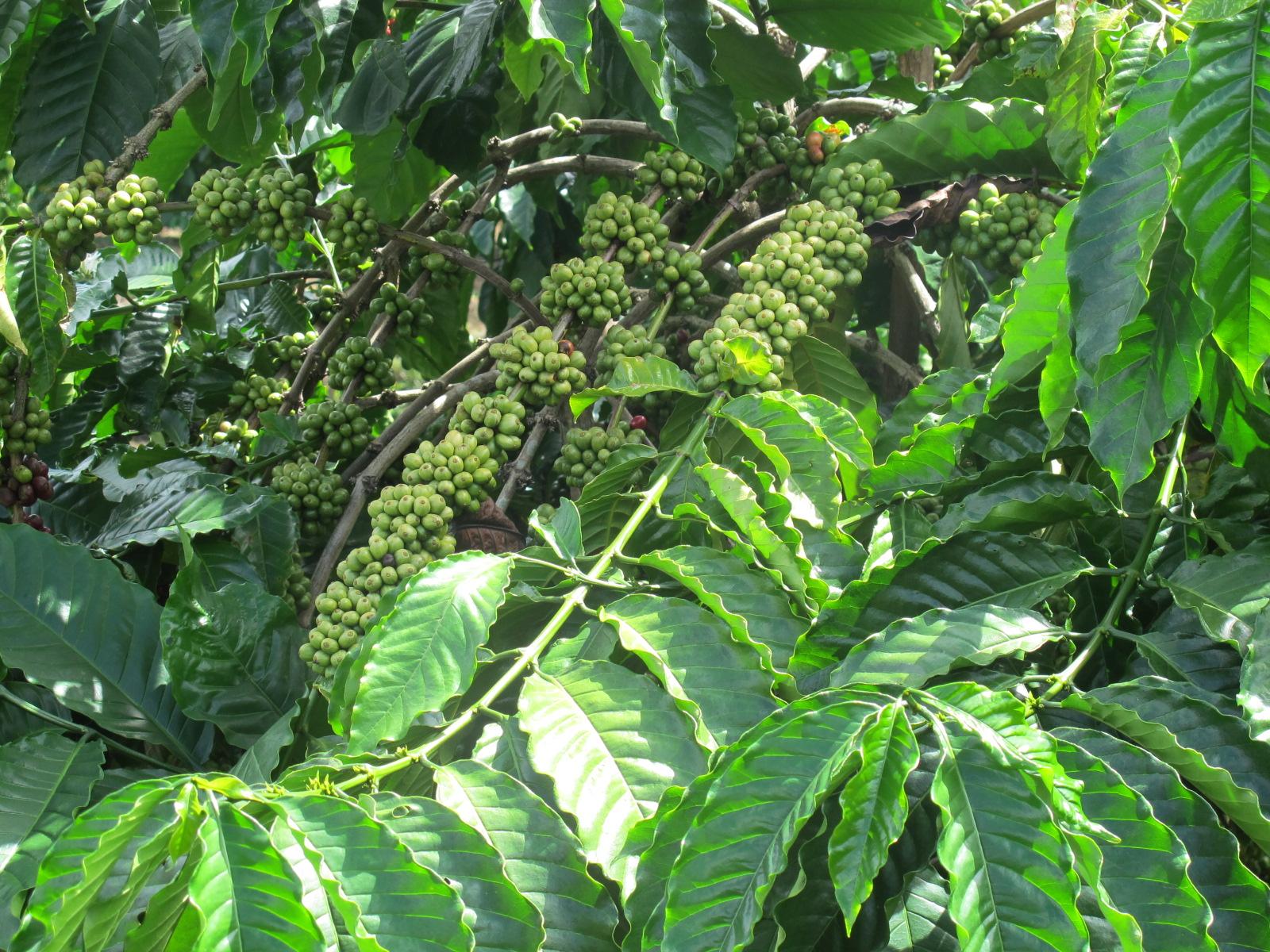 Cầu Đất trồng khoảng 1500 ha cà phê