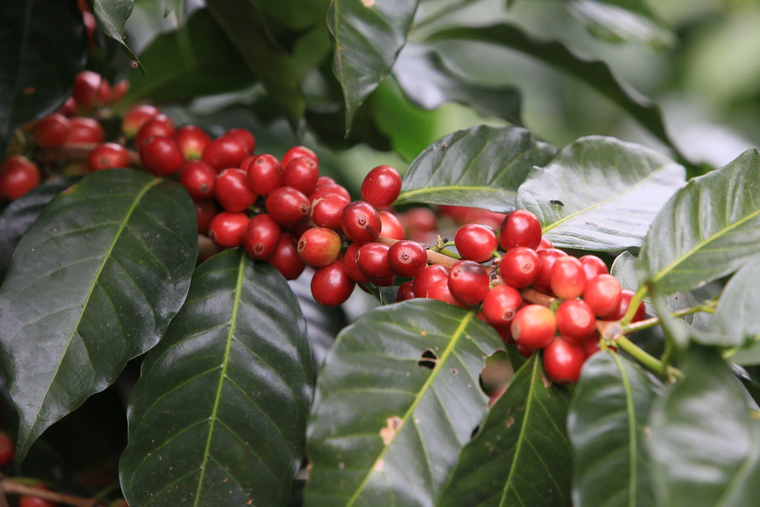 Cà phê lai tạo Catimor