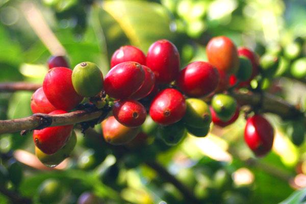 Cà phê Cherry ít được trồng ở Việt Nam
