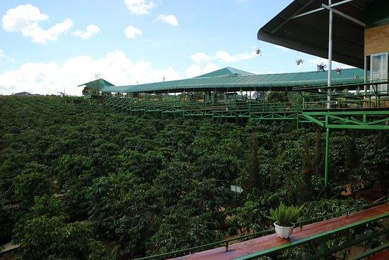 Đà Lạt là vùng đất trồng cà phê Arabica nổi tiếng