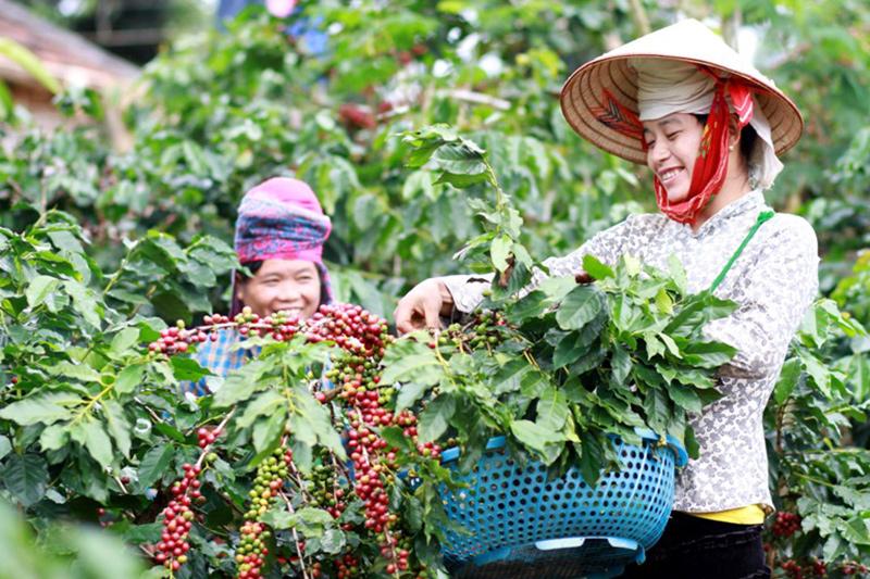 Cà phê Arabica được trồng ở Sơn La