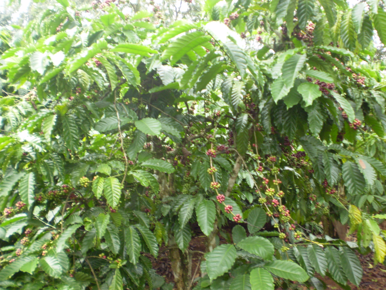 Đặc điểm cà phê nhân Arabica