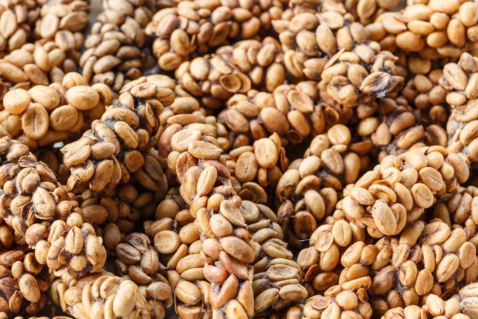 Cà phê Kopi Luwak là thức uống đắt đỏ hàng đầu thế giới