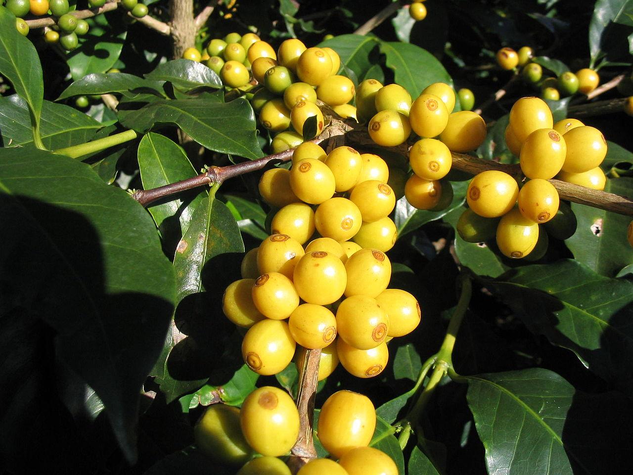 Cà phê Bourbon được là loại hạt cà phê thơm ngon nổi tiếng thế giới