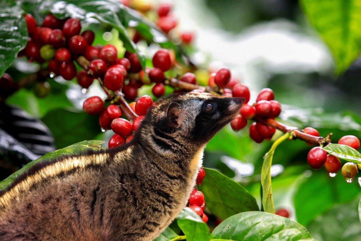 Cà phê chồn là sự kết hợp độc đáo giữa cà phê và loài chồn nhỏ bé vùng Đông Nam Á