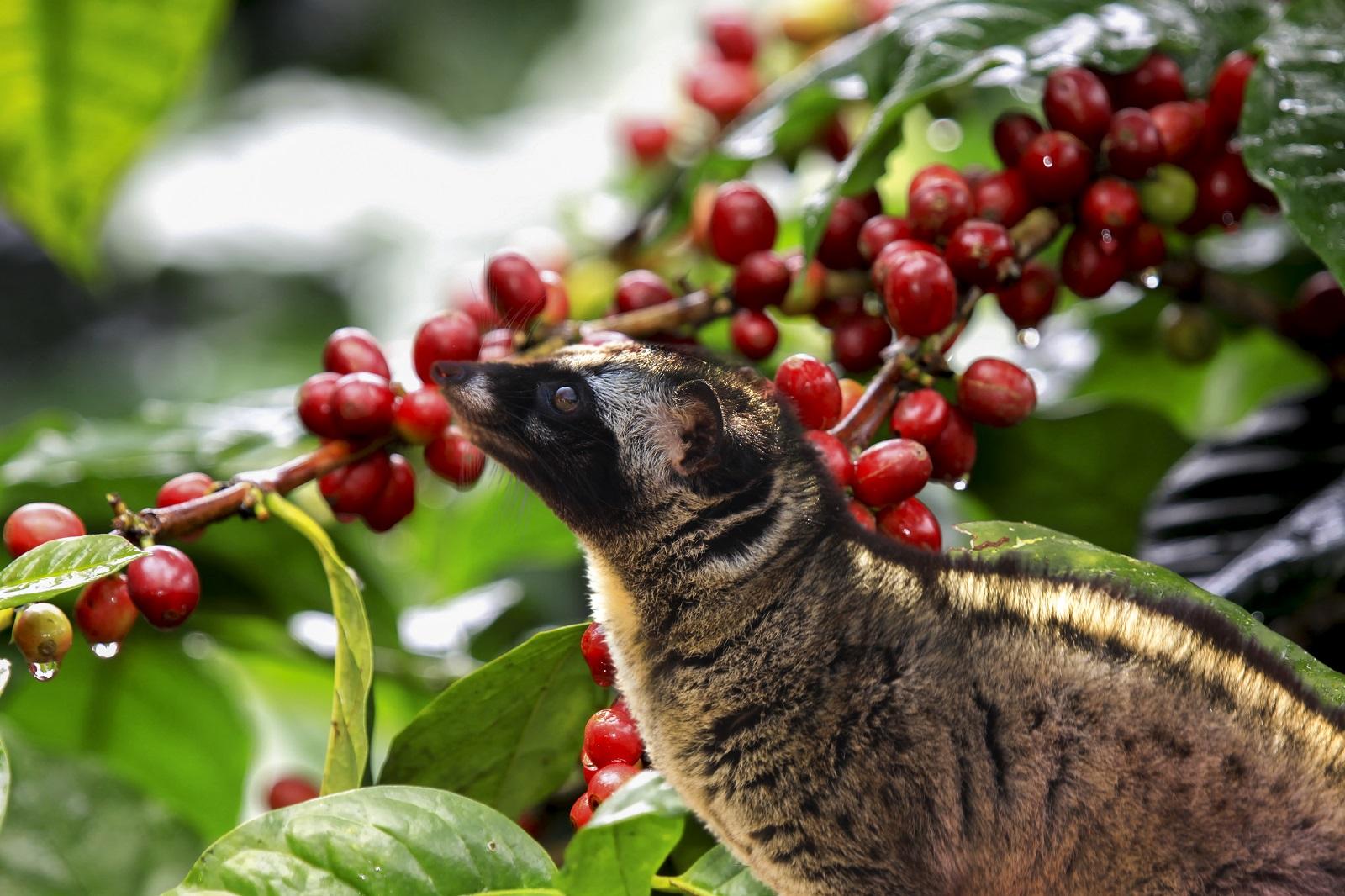 Cà phê chồn có sự góp mặt độc đáo của loài chồn hương